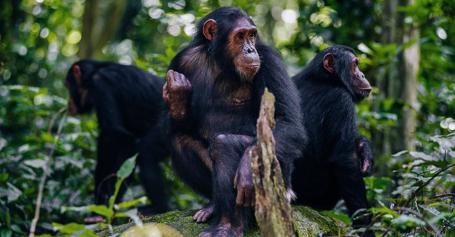Chimps Tracking in Gombe Stream National park in Tanzania