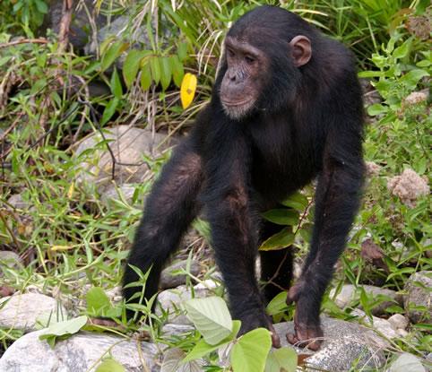 Chimpanzee Walking in Mahale Mountains Naional Park Tanzania
