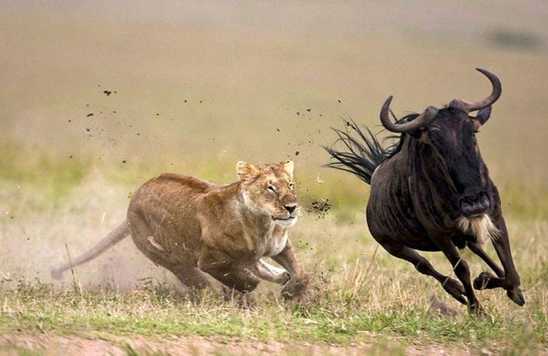 Lion Chasing A Wildebeest - Serengeti National Park