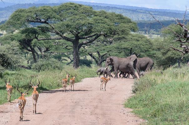 Elephants in Serengeti National Park Tanzania