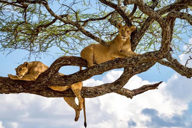 Tree Climbing Lions in Lake Manyara National Park Tanzania