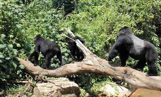 Gorilla Trekking in Uganda from Tanzania