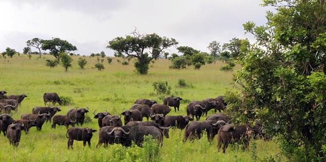 Buffaloes in Mikumi National Park Tanzania
