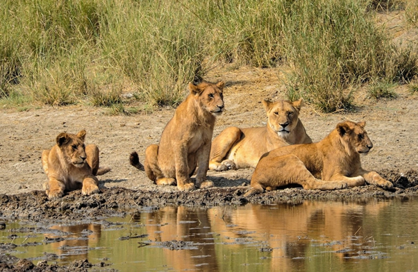 Lions along River Ruaha